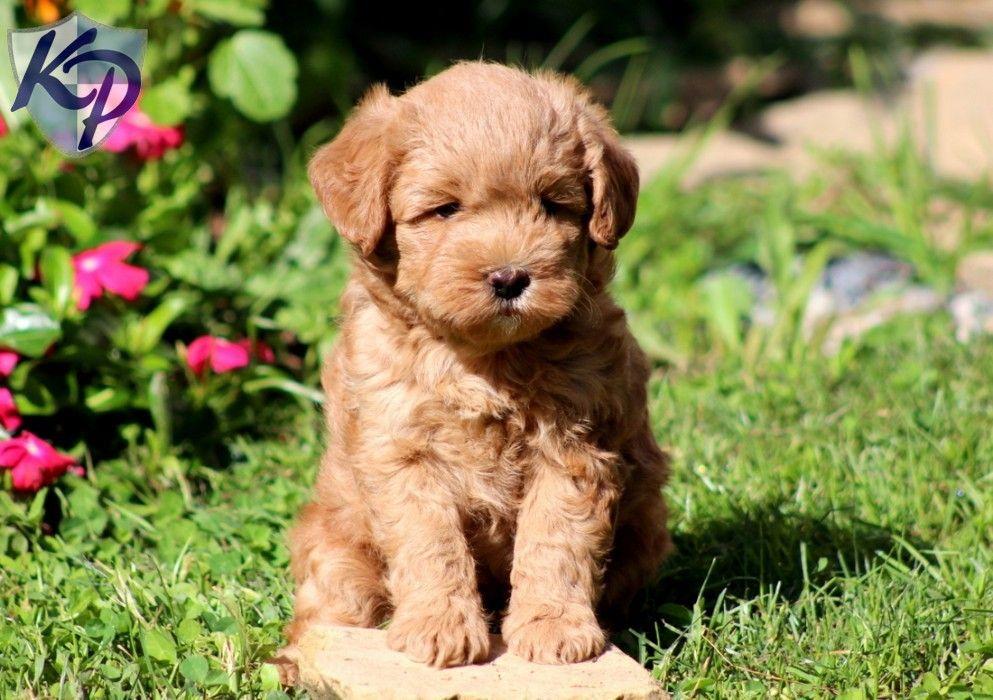 Champ Miniature Labradoodle Puppy keystonepuppies