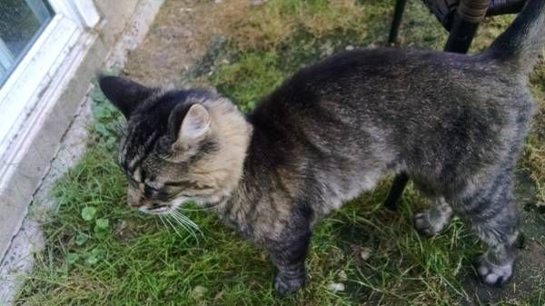 Found a young gray cat in Middletown (Middletown CT) lost