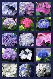 The Secret Language Of Flowers Hydrangeas Language Of Flowers Hydrangea Flower Meanings