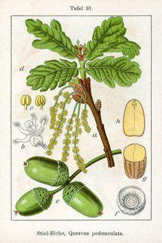 botanische zeichnungen heidelbeere - Google Search