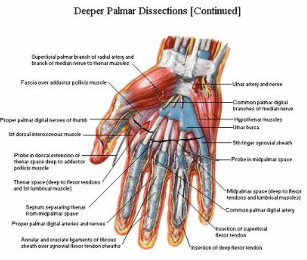 Palmar Hand Muscle Anatomy Diagram Volkswagen Amp Meter Wiring Palmer Aspect Of The And Wrist Netter Pinterest