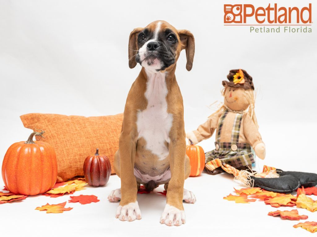 Puppies For Sale Boxer Puppies Dog Lovers Puppies
