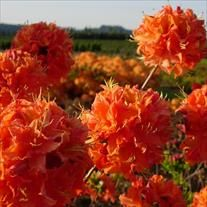 Rhododendron Azalea 'Mandarin Lights' | Wholesale Nursery Supplies & Plant growers in Oregon | Nursery Guide