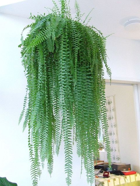 Common name boston fern hang in kitchen or dining room for Large non toxic house plants