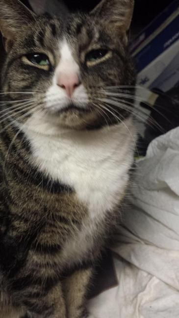 Lost Cat Domestic Short Hair In East Hartford Ct Share Facebook