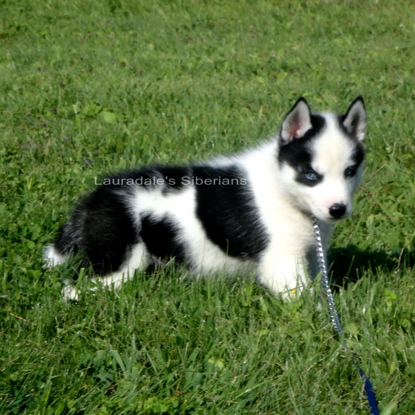 Black & white blue eyed piebald Siberian Husky puppy