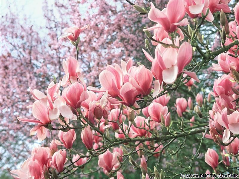Etwas Neues genug Yulan-Magnolie 'Fragrant Cloud' | Sens dnia | Magnolie pflanzen &ET_13