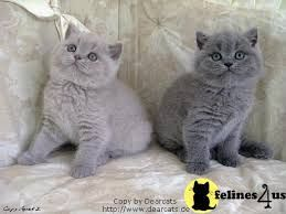 Lilac Blue Lilac British Shorthair Cat 81021 Nama Untuk Kucing Comel Lucu Dan Unik