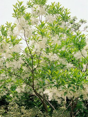 The best small trees gardening and landscaping ideas pinterest fringe treeouds of fragrant white flowers mightylinksfo