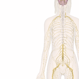 Nervous system explore the nerves with interactive anatomy pictures nervous system explore the nerves with interactive anatomy pictures ccuart Gallery