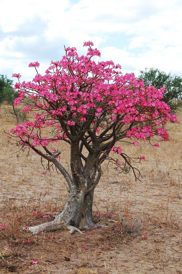 Adenio o rosa del desierto la flor que despierta del fr o for Arboles de hoja perenne para clima frio