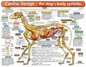 Canine design dog body systems chart caring for german shepherd