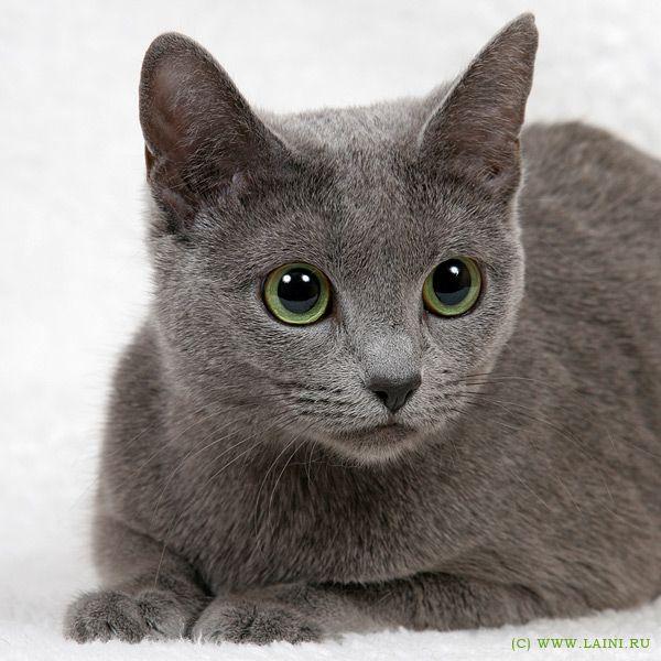 Russian Blue Cat Russianbluecat Russian Blue Cat Russian Blue Blue Cats