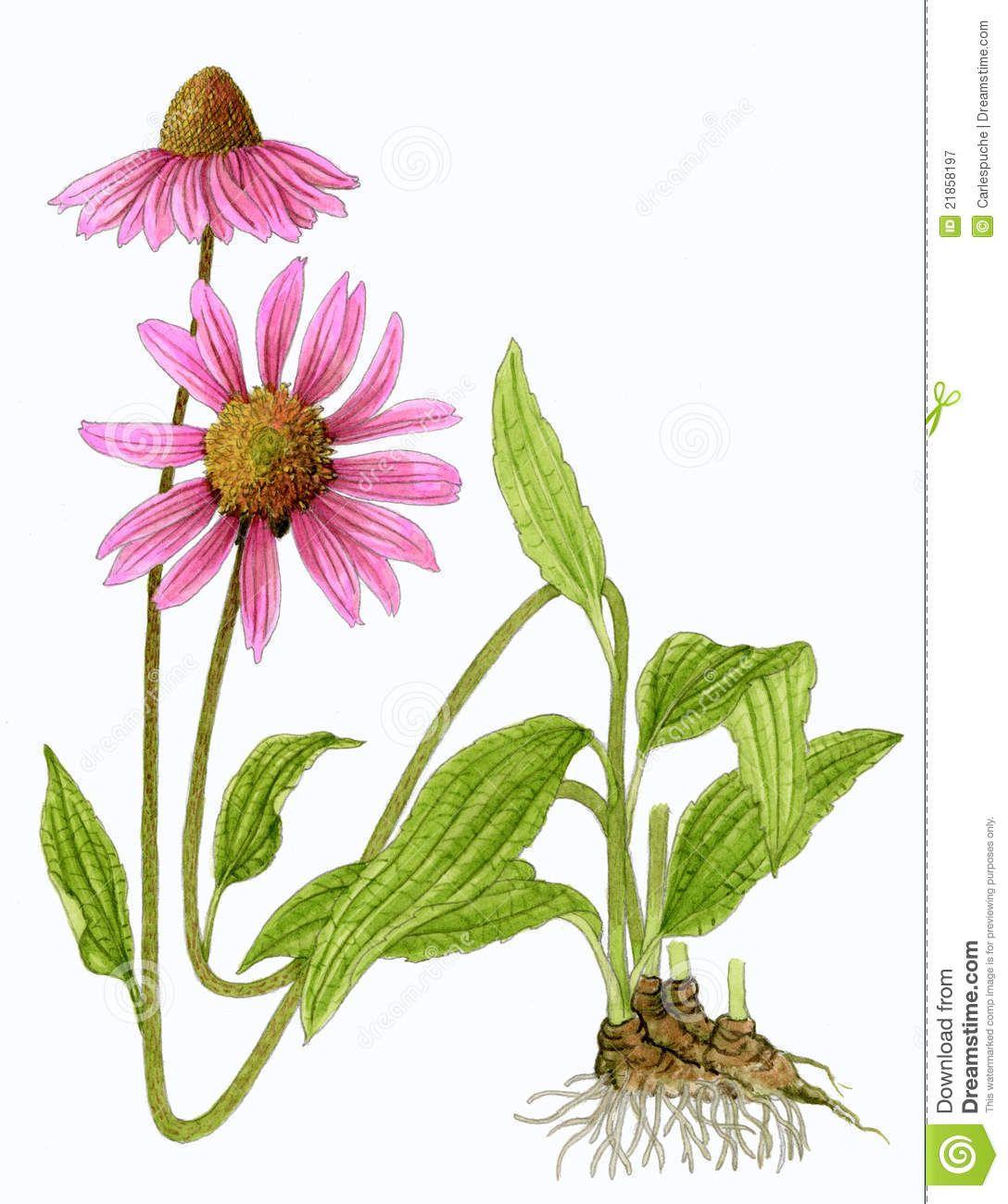 Eastern Purple Coneflower Echinacea Purpurea Echinacea Purpurea Echinacea Pink Plant