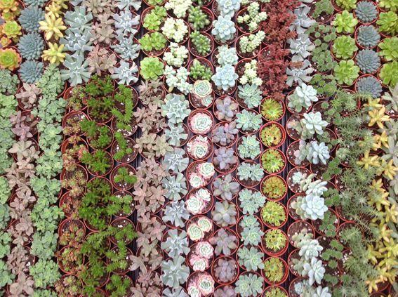 d tails du produit 20 plantes succulentes arr es succulentes 35 20plantes fleurs. Black Bedroom Furniture Sets. Home Design Ideas