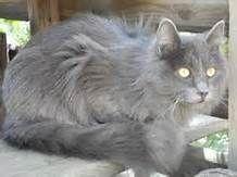 Russian Blue Cat Long Hair Russian Blue Cat Russian Blue Nebelung Cat