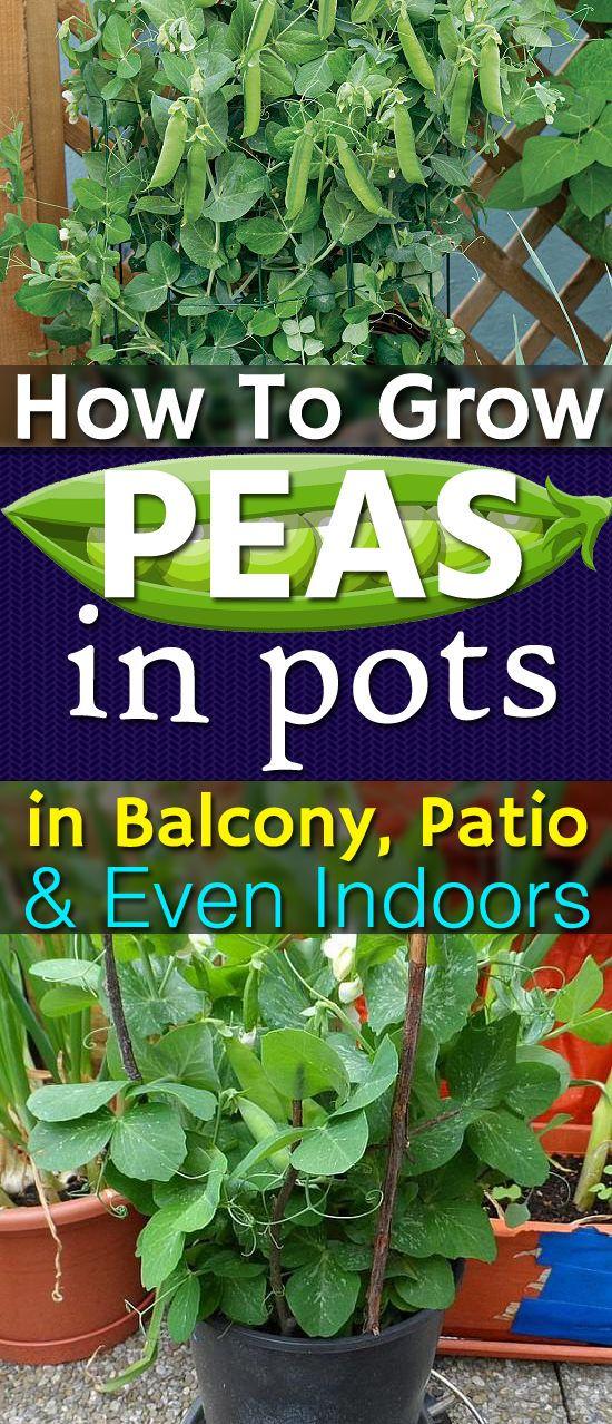 How To Grow Peas In Pots In Balcony Patio Even Indoors