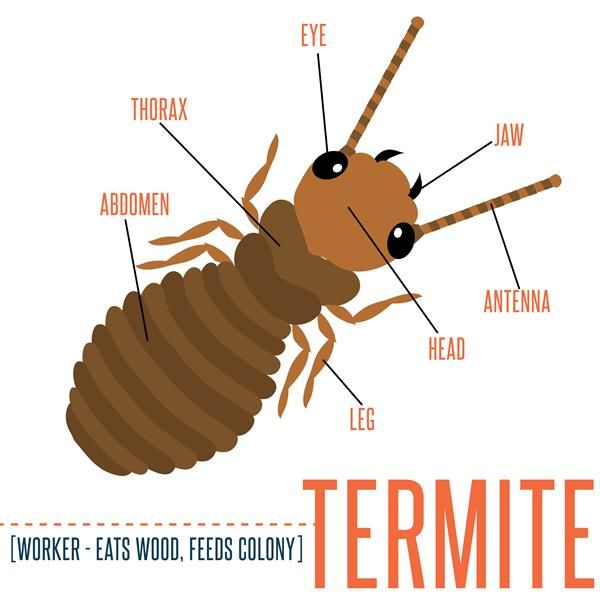 Termite Worker Diagram Home Decors Home Warranty