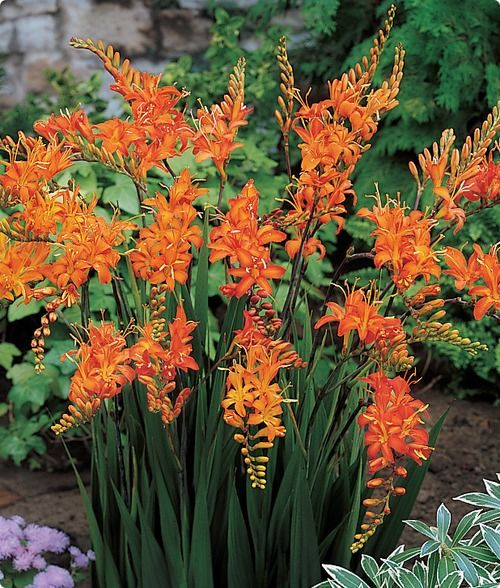 crocosmia masonorum these turned out beautiful and i hear they spread we bl hende pflanzen. Black Bedroom Furniture Sets. Home Design Ideas
