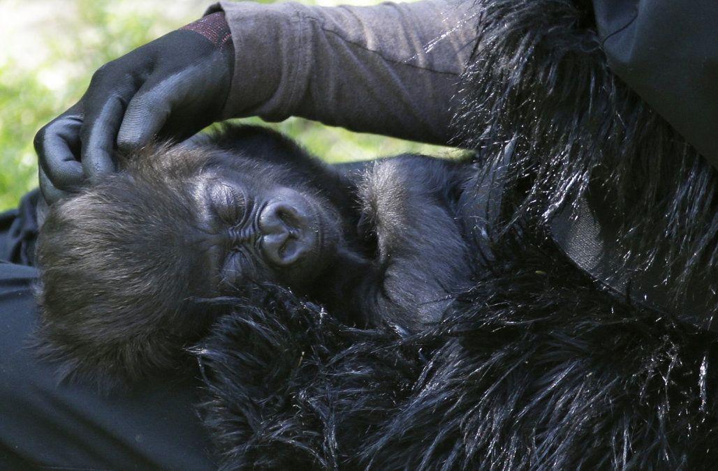 Cincinnati zoos adorable baby gorilla makes her first