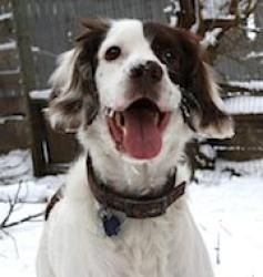 Adopt Jack On Dog Adoption English Springer Spaniel Spaniel Dog