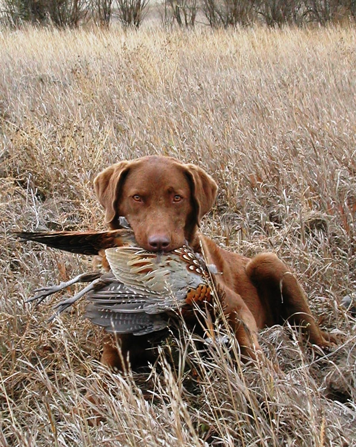 A Chesapeake Bay Retriever With A Pheasant Chesapeake Bay Retriever Bird Dogs Brown Dog