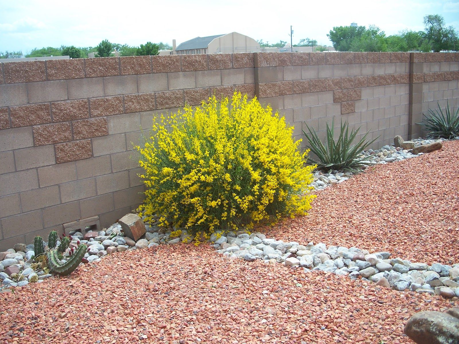 Trees That Please Nursery Spanish Broom Spanish Broom Broom Plant Plants