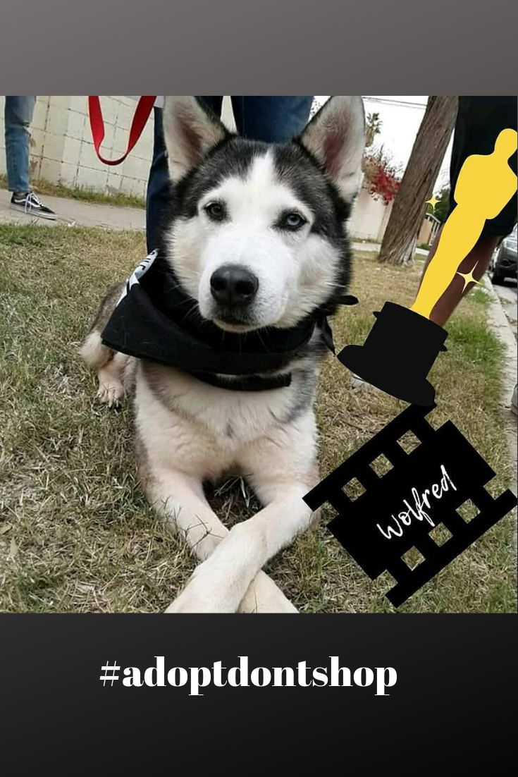 Wolfred Is Ready For Adoption Male Dog Friendly Dog Husky