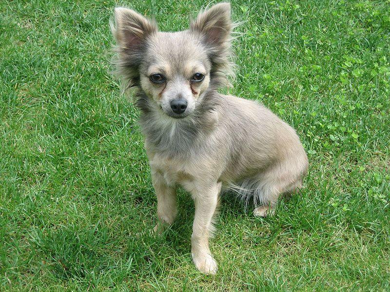 blue fawn chihuahua long coat | Chihuahua Dogs/Mixes | Long