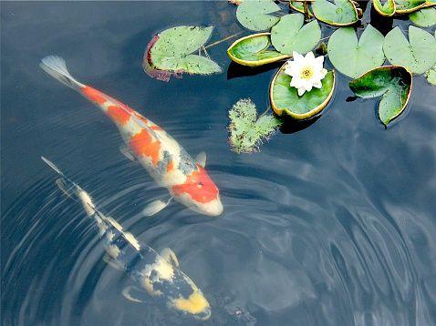 Close Up Of Koi Fish Swimming Under Lily Pads In Rippling Pond Water Koi Art Koi Fish Koi