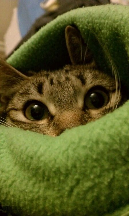 Image result for cat in a blanket