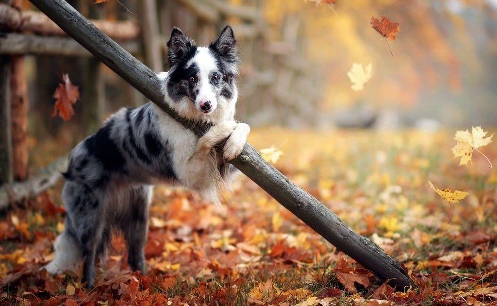 Border Collie Dog Play Autumn Leaves Wallpaper Oboi Dlya Rabochego Stola Oboi