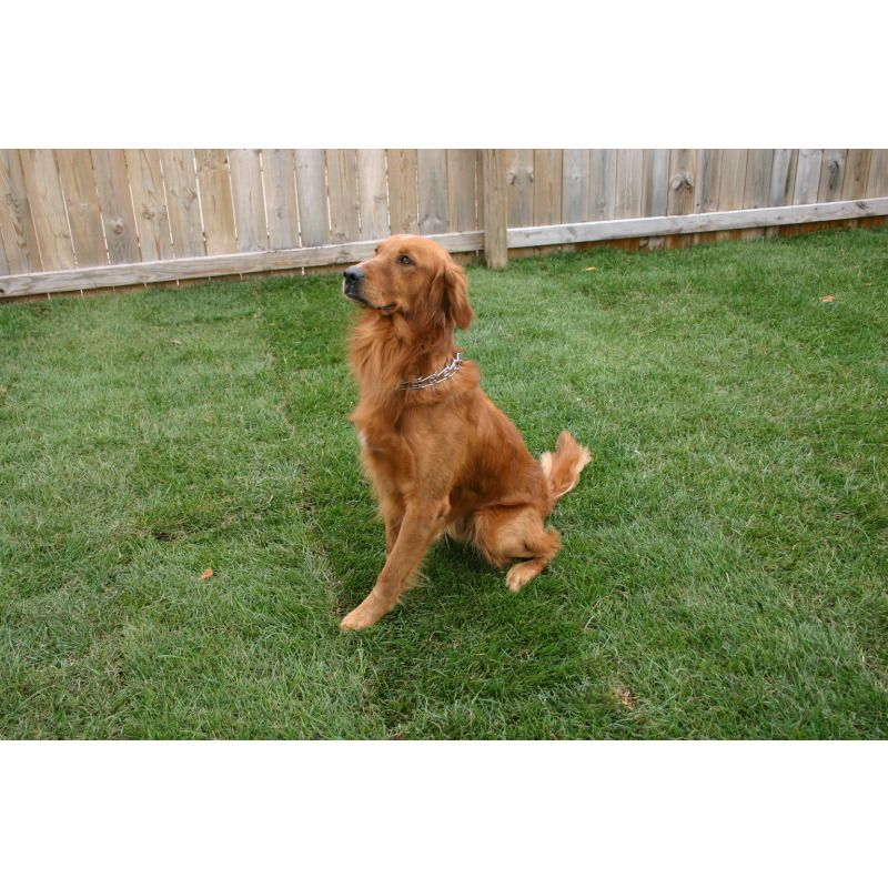 Field Golden Retriever Golden Retriever Dog Breeder Dogs For Sale