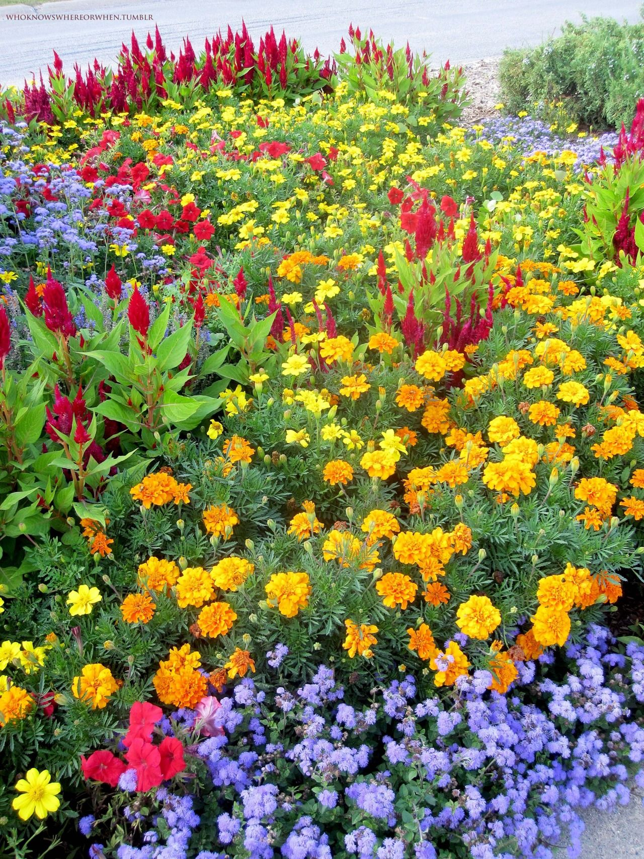 Celosia, Marigolds, Petunias, Ageratum.