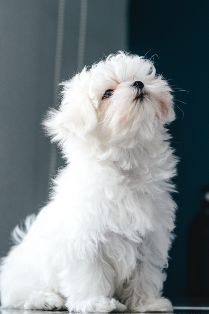Portrait Of A Cute White Long Haired Maltese The Puppy Is 4 Month Old On The Picture In 2020 Maltese Dogs Maltese Puppy Maltese