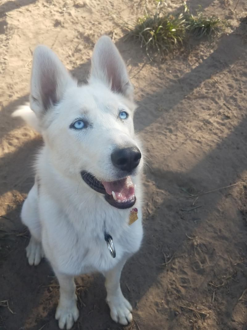 Adopt Horchata On Unique Dog Breeds Female Siberian Husky Samoyed