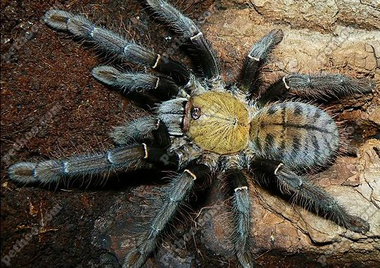 b8d342f8b5d94fcd47792430e4df38fe - How To Get Rid Of Tarantulas In My House
