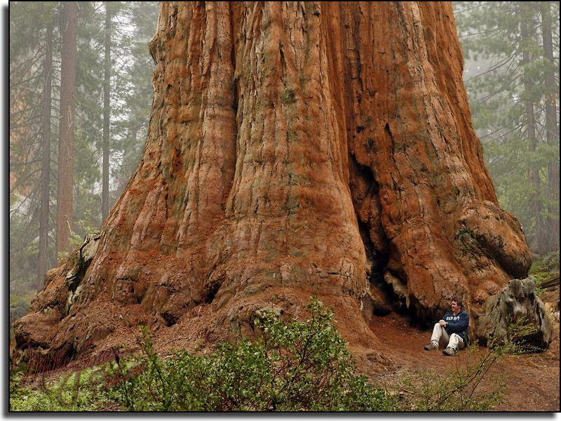 Giant Sequoia (Redwood) Tree. Redwood Forest California