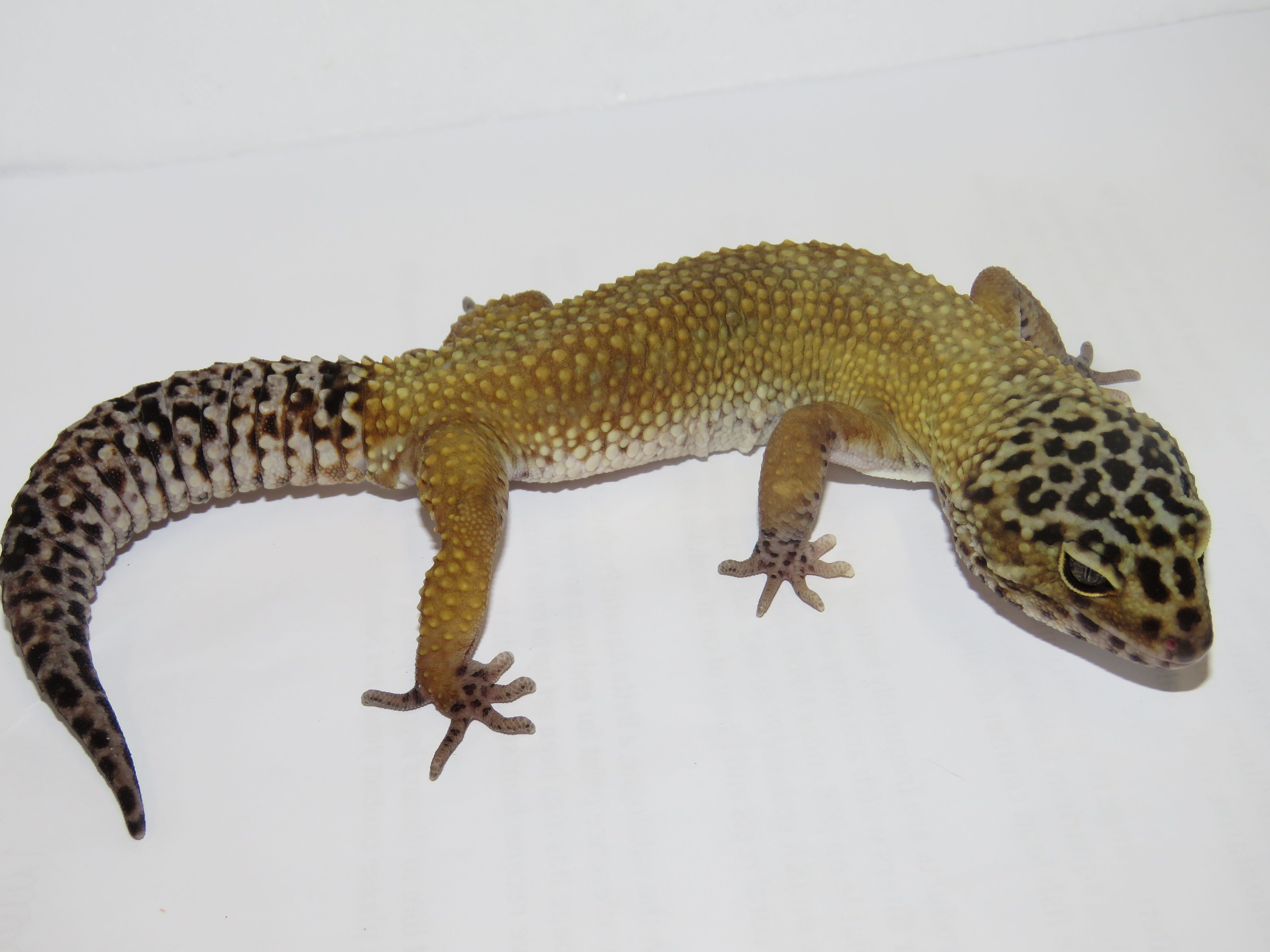 Leopard Gecko Www Naturalworldpets Co Uk If You Are Interested