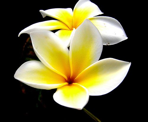 Island Minute Plumeria Flowers Plumeria Amazing Flowers