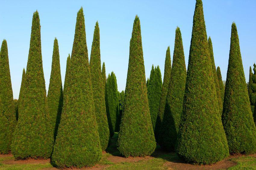 thuja occidentalis smaragd trimmed vrtne ideje pinterest thuja occidentalis garden art. Black Bedroom Furniture Sets. Home Design Ideas