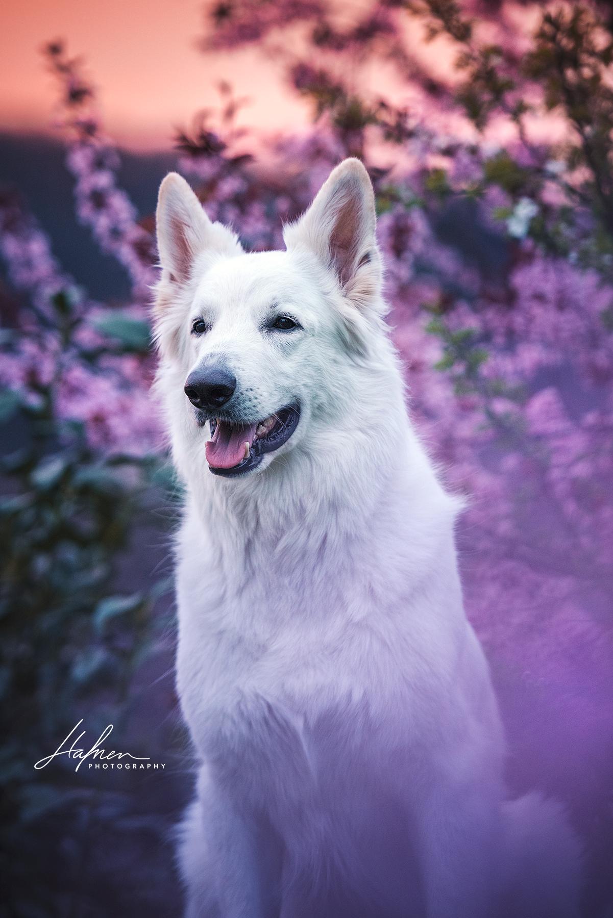 Weisser Schweizer Schaferhund Vor Bluhenden Kirschbaum Im Sonnenaufgang Hund Bilder Foto Fotografie Hunde Fotos Weisser Schaferhund Susse Hunde Bilder