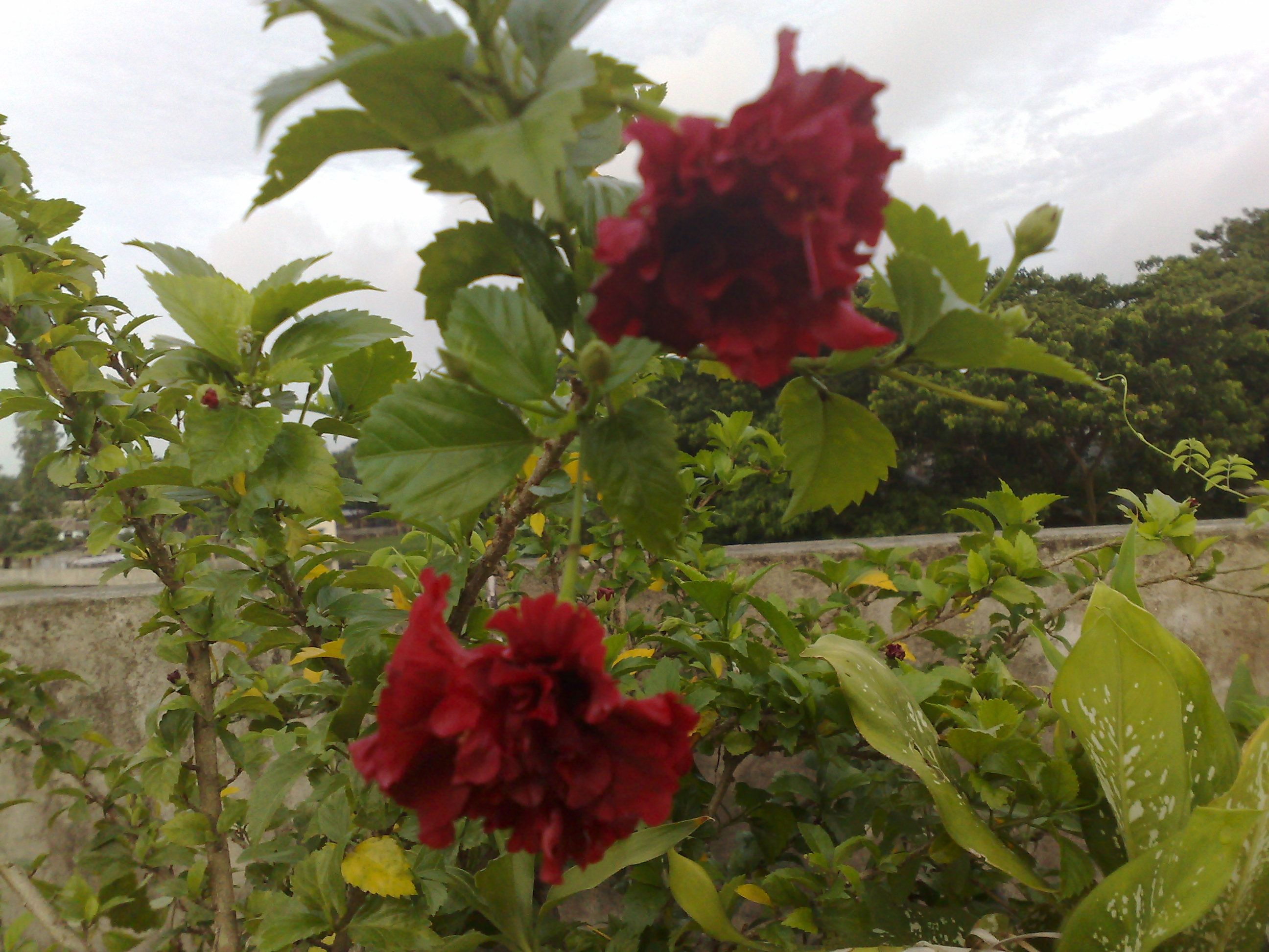 The Flowers Of Hibiscus Rosa Sinensis Are Edible And Are Used In Salads In The Pacific Islands The Flower Is Additiona Hibiscus Rosa Sinensis Dark Pink Flowers