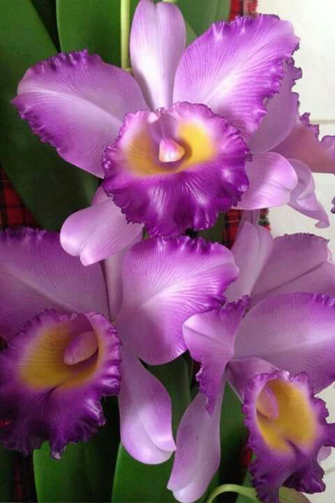 Orquidea Colombiana Cattleya Orchid Purple Orchids Orchid Flower