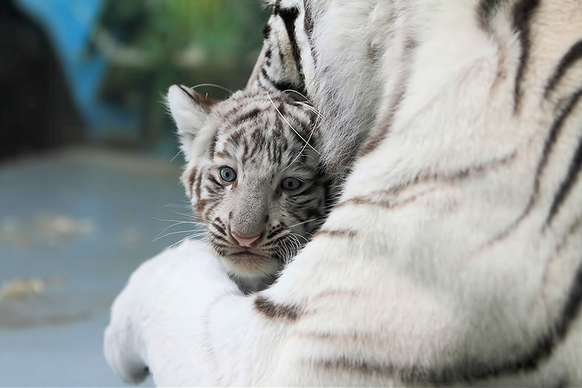 WhiteTiger0025.jpg #white #tiger  #animal #endangered #predator #majestic