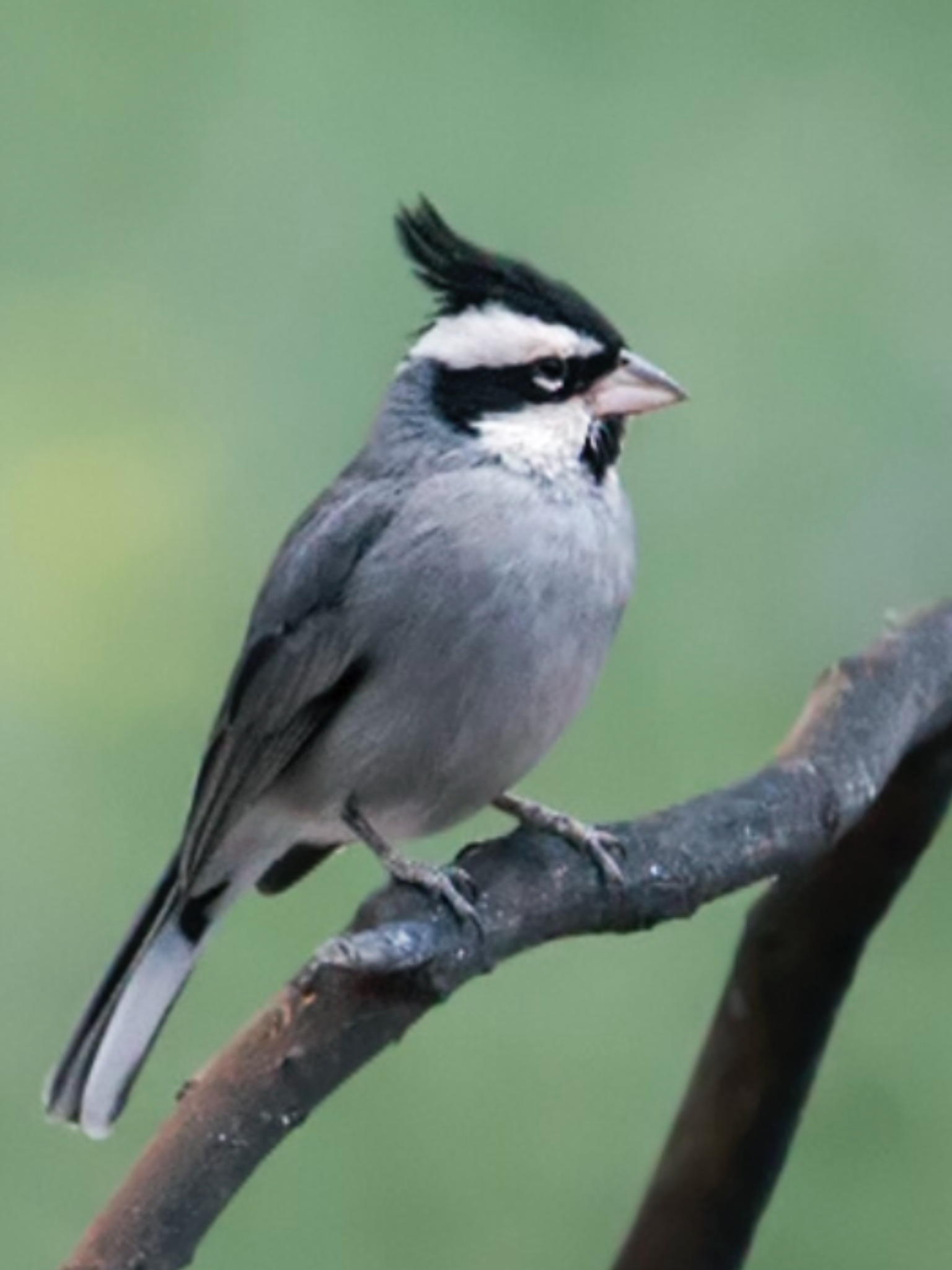 Black Crested Finch Lophospingus Pusillus A Tanager Ar Bo Py Uy C Nick Aves Diamante De Gould Y Beautiful