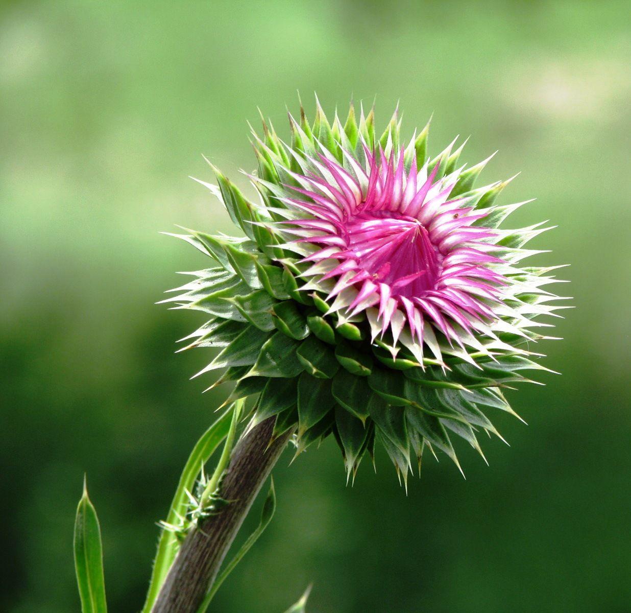 Thistle Scotland national flower, Flower beauty, Flowers