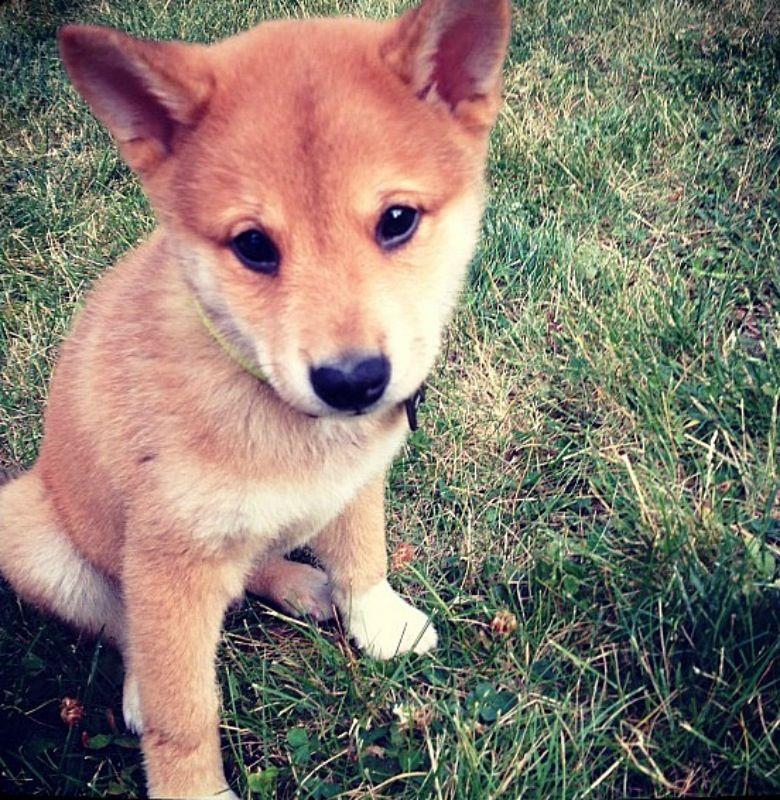Mini Shiba Inu Puppies For Sale Near Me 2021