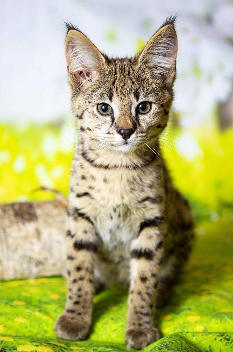 Are Savannah Cats Good Pets We Help You Decide