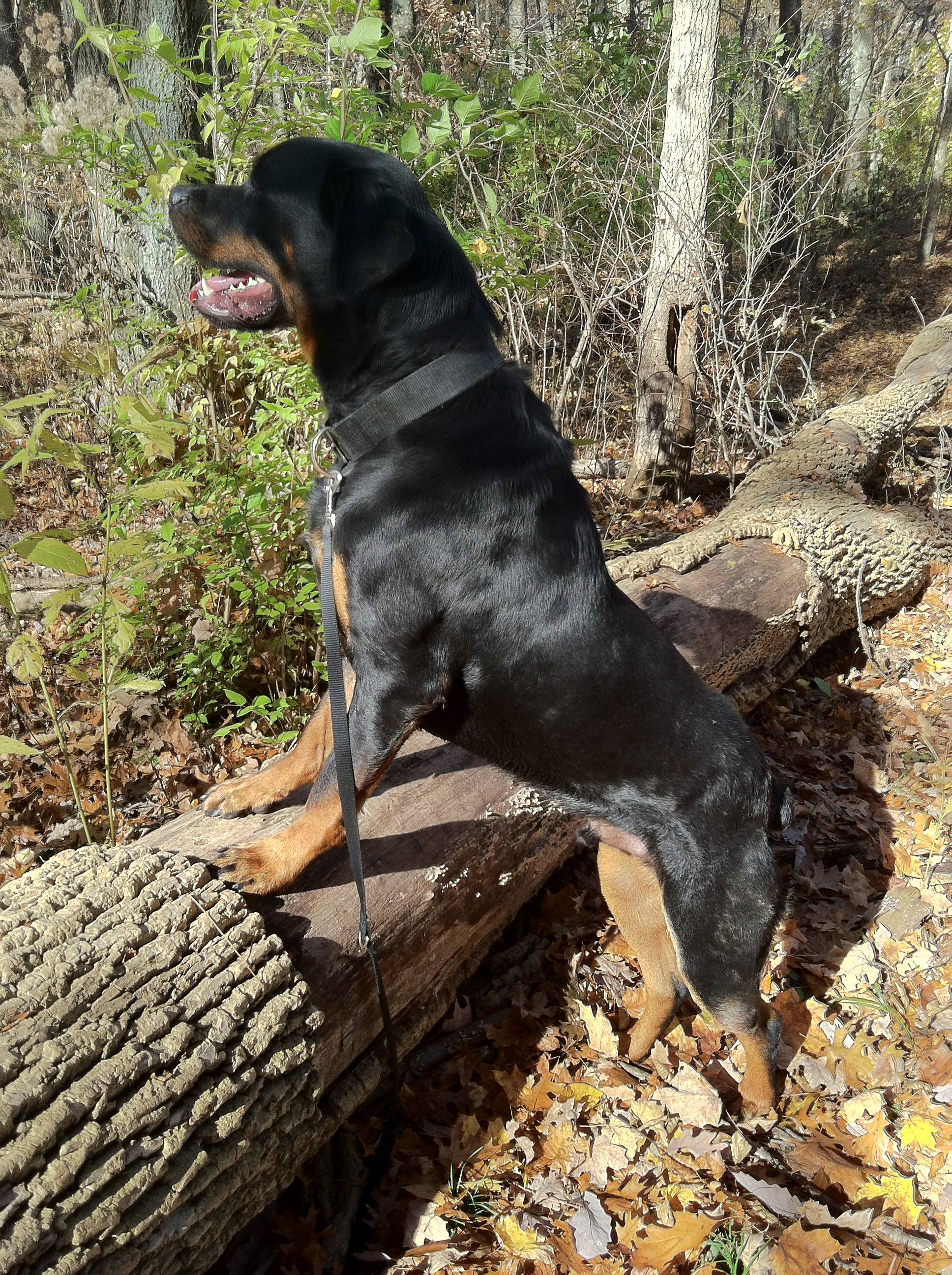 Pin By Ajl0004 On Rottweiler Rottweiler Dogs Dog Life